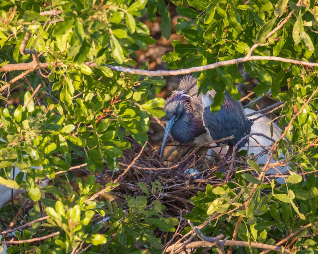 Tricolored Heron Nesting (with eggs)
